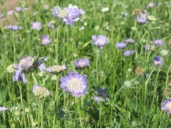 Scabiosa caucasica 'Isaac House'  - 3 plants for $9.18