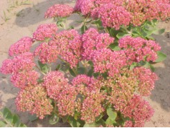 Sedum spectabilis 'Autumn Joy' - 3 plants for $14.58