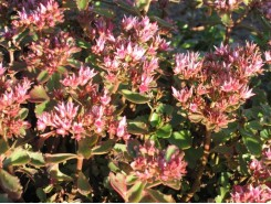 Sedum 'Dragon's Blood'  - 3 plants for $11.52