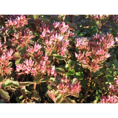 Sedum 'Dragon's Blood'