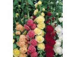 Alcea 'Chaters Double' mix - 3 plants for $10.62
