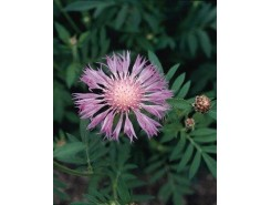 Centaurea dealbata 'Rosea' (Bachelor Button)