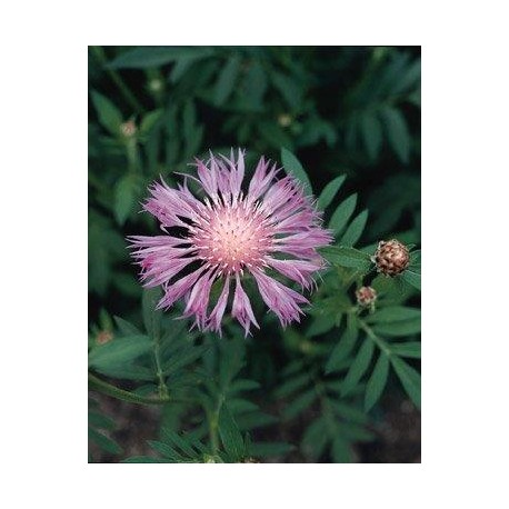 Centaurea dealbata 'Rosea' (Bachelor Button)