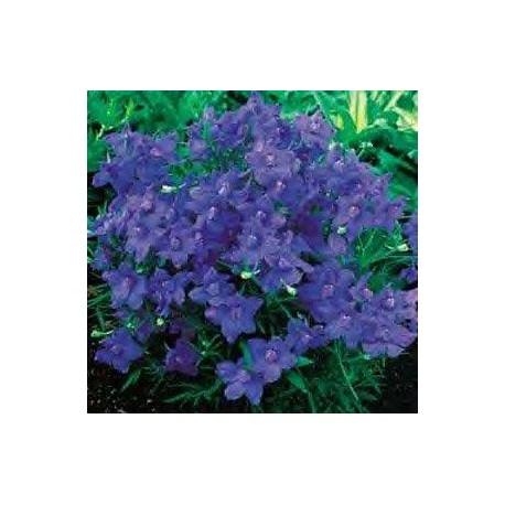 Delphinium grandiflorum 'Blue Butterfly'
